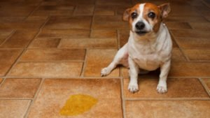 why dogs pee in the house