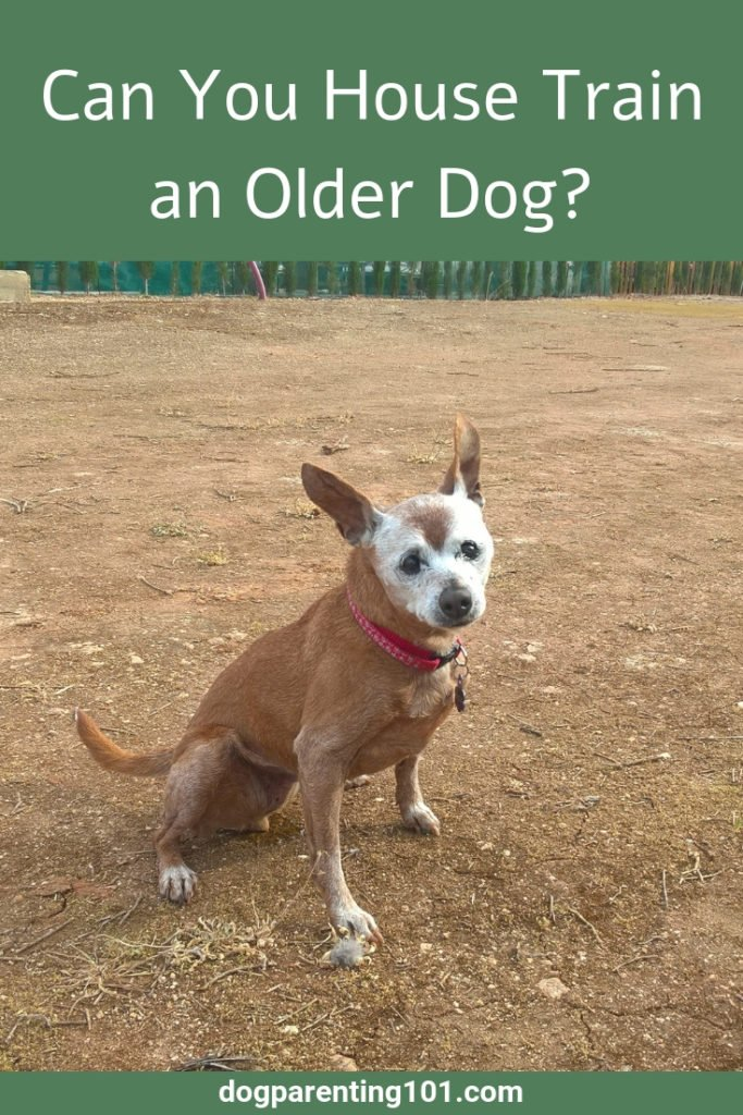 Can You House Train an Older Dog