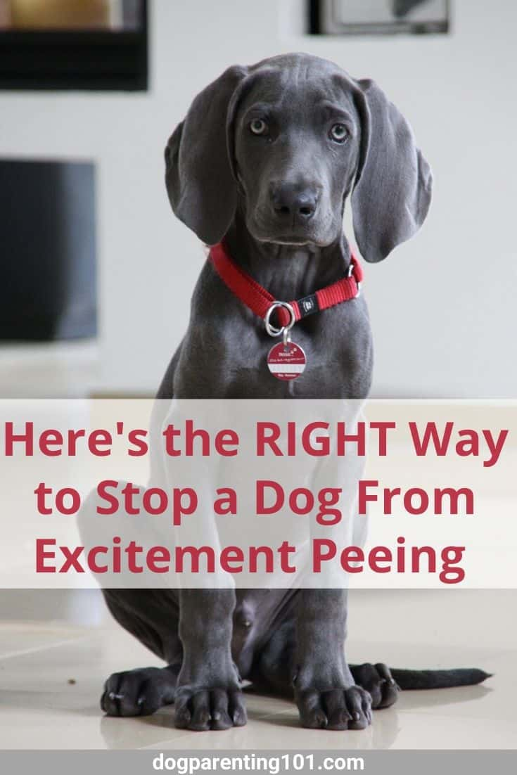 Here is the right way to stop a dog from excitement peeing