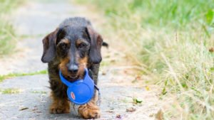 Eight reasons why a flexi leash for a dog is a bad idea
