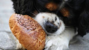 Food guarding in dogs