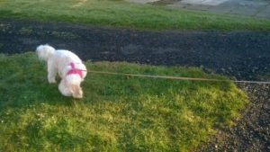 Why a flexi leash for a dog is a bad idea
