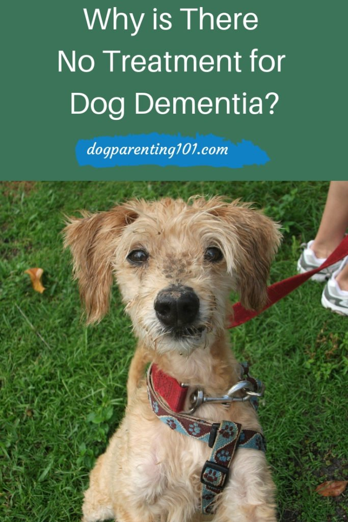 Why is There No Treatment for Dog Dementia