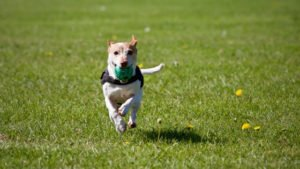 dogs need exercise to prevent boredom and reduce urine marking in the house