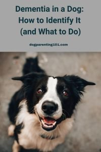 Dementia in a Dog How to Identify It and What to Do