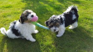 How to train a dog to share his toys