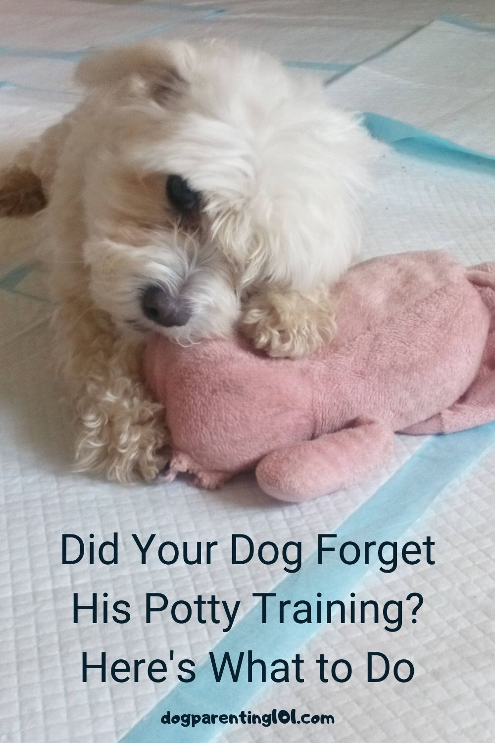 Did Your Dog Forget His Potty Training Here's What to Do